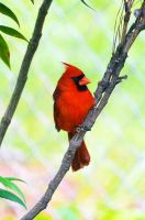 Male Cardinal 5-19-14 by Tailgun2009