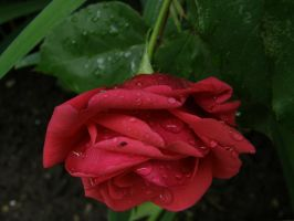 Rose Drops by Gwathiell