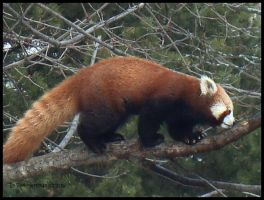 Red Panda by littletim