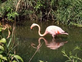 pink flamingo by asaph70