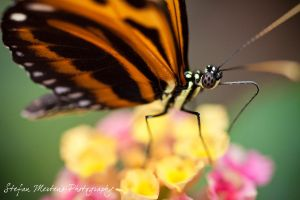 Orange Longwing by cRomoZone