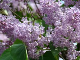 Lilacs Blossoms by LoversHorizon