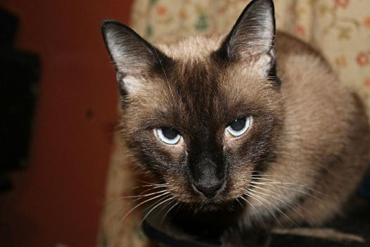 Angry Siamese by johanalee