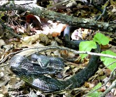 Rat Snake..is my semi-educated guess by duggiehoo