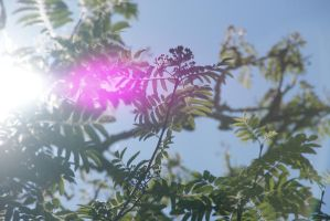 Lensflare in Sorbus Aucuparia by dragontamer