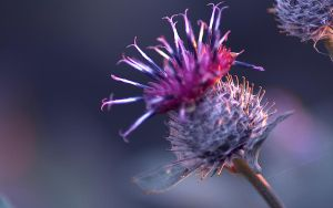 thistle hdr by tienod
