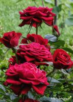 Group of Red Roses by mjohanson