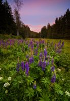 Lupine Glow by davidrichterphoto