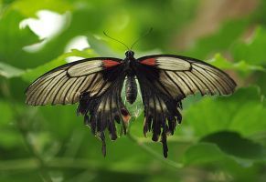 The Great Mormon Butterfly by Glenn0o7