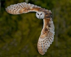barn owl 7 by littlebuck