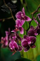 Orchidaceae 020 by Sophie-Wieland