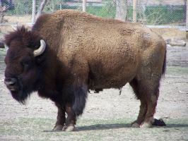 Bison Standing by onlycomeoutatnight