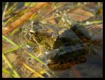Juvenile Foothill Yellow Legged Frog by KazurramahStudios