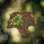 Maple-leaf by X-chromosome