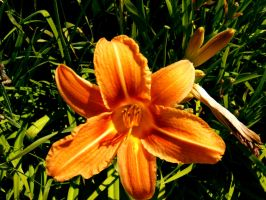 Flower 43 by WolfPrincess-Stock
