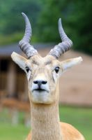 Red Lechwe by teslaextreme