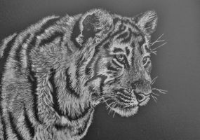 First ever tiger scratchboard by graphiteimage