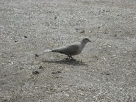 Turtle dove by Storm1287