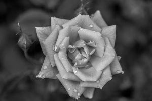 black and white Rose by nicholls34