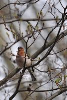Common Chaffinch by Dariaocean