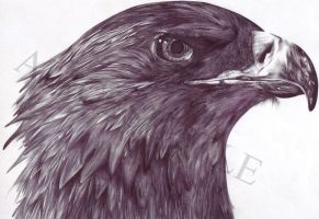 Golden Eagle by alicesuttle