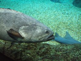 Goliath Grouper by Cwen-Natulcien