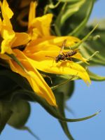 Paper Wasp on a Sunflower by Joe-Lynn-Design