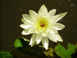 Water Lily by bobtheenchantedone