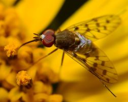 Bee fly by nolra