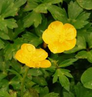 Buttercups by PaganFireSnake