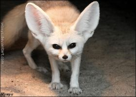 A day when you see a fennec is a good day. by woxys