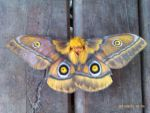 Mr moth by AllexiaLeeBeaumont