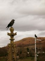 cemetery jackdaw 2 by harrietbaxter