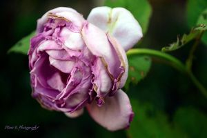 The last rose.. by firefly994