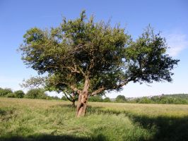 Tree in Summer 3 by archaeopteryx-stocks