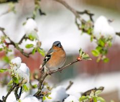 Male chaffinch on apple tree by piglet365