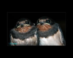 Swallows the 2nd brood II by kilted1ecosse