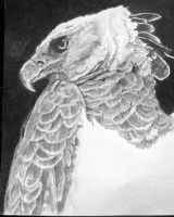 Harpy Eagle by Cheops1975
