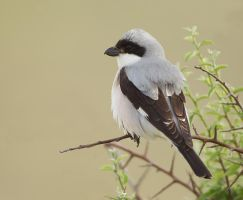 Day dreaming - Lesser grey shrike by Jamie-MacArthur