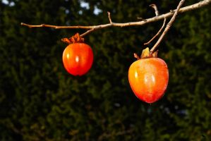 Persimmons by jennystokes