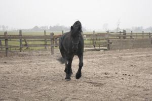 Friesian Stallion 30 by PerfectionStock