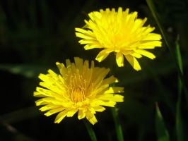 dandelions by apathy-and-urgency