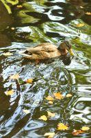 Luxembourg duck 1 by wildplaces