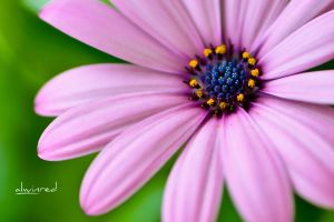 A Pink Flower by alwinred