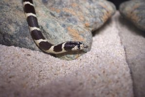 California kingsnake 1 by Very-Free-Stock
