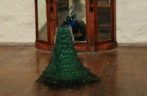 Montsalvat peacock 3 by Dewfooter