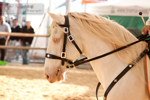 Cremello Lusitano_2 by CalyHoney