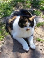 Calico Cat Closeup5 by effing-stock