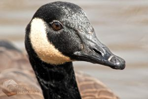 Goose Portrait II by shaguar0508