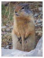 Ground Squirrel. by Bleezer